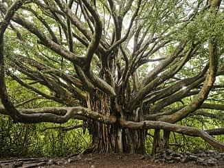 बरगद का पेड़