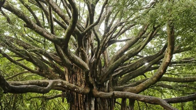 वटवृक्ष